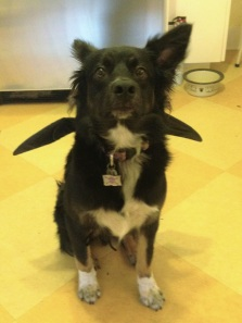 Bat dog demonstrating correct ear placement for an in flight right turn.